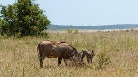 Phacochère avec son pâturage de famille photo libre de droits
