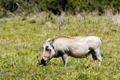 Phacochère blanche mangeant l'herbe Photos libres de droits
