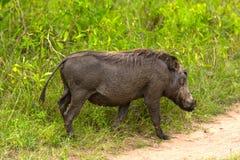 Phacochère dans la région sauvage Image libre de droits