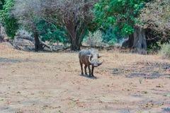 Phacochère dans la savane au Zimbabwe, Afrique du Sud photos libres de droits
