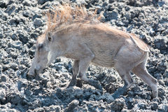 Phacochère dans le mus Photographie stock libre de droits