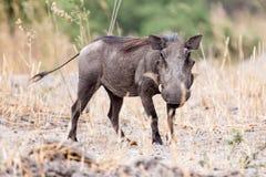 Phacochère - delta d'Okavango - Moremi N P Images libres de droits