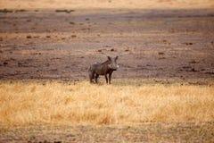 Phacochère - delta d'Okavango - Moremi N P Images stock