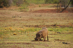 Phacochère en nature, Afrique du Sud Photos stock
