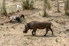 Phacochère en parc national de Kruger, Afrique du Sud Photographie stock libre de droits