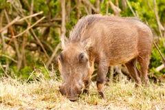 Phacochère mangeant intensément sur son herbe Photos libres de droits