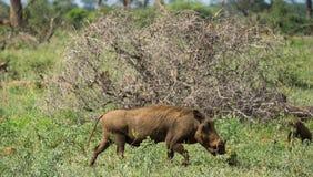 Phacochère sur les plaines photographie stock libre de droits