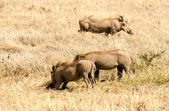 Phacochères, cratère de Ngorongoro image libre de droits