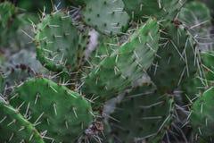 Phaeacantha Opuntia кактуса шиповатой груши Стоковые Фотографии RF