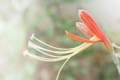 Phaedranassasoorten, de hybride van Hippeastrum cybister Royalty-vrije Stock Foto's