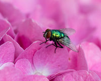Phaenicia sericata fly on a flower Royalty Free Stock Images