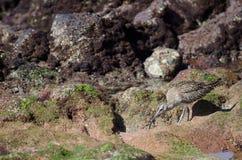 Phaeopus de Numenius de courlis corlieu recherchant des proies images libres de droits