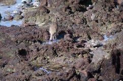 Phaeopus de Numenius de courlis corlieu recherchant des proies photo libre de droits