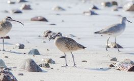 Phaeopus Numenius ακτοτουρλιών που στηρίζεται σε μια άσπρη δύσκολη παραλία άμμου Στοκ φωτογραφίες με δικαίωμα ελεύθερης χρήσης