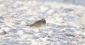 Phaeopus Numenius ακτοτουρλιών που στηρίζεται σε μια άσπρη δύσκολη παραλία άμμου Στοκ Εικόνες