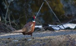 Phaesant. Male pheasant out for a walk Royalty Free Stock Images