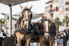 Phaeton. Horses at alsancak, Izmir Turkey August 30 2014, Horses are waiting for customers or tourists Royalty Free Stock Images