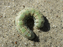 Phaeton Primrose Sphinx Larvae. A Phaeton Primrose Sphinx Larvae - Euproserpinus phaeton Royalty Free Stock Photo