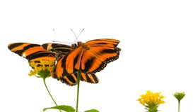 Phaetusa arancio legato di Dryadula della farfalla fotografie stock