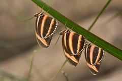 phaetusa dryadula Стоковая Фотография RF