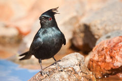 Phainopepla Royalty Free Stock Photo