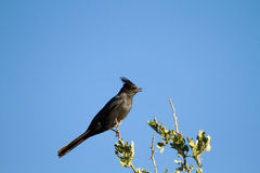 Phainopepla, Phainopepla nitens Royalty Free Stock Photo