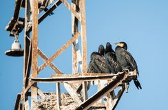 Black Cormorant Stock Photography