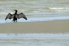 A black cormorant holding his wings out to dry in the sun on the beach stock photo