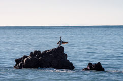 Phalacrocorax Aristotelis Stock Images