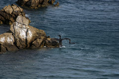 Phalacrocorax aristotelis or European shag jump on a rock Stock Photo