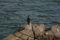 Phalacrocorax aristotelis or European shag sitting on a rock Stock Photos