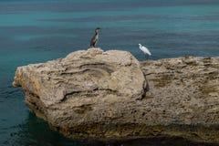 Phalacrocorax aristotelis och ardeidae på en vagga på kusten Arkivbild
