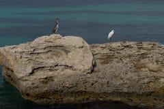 Phalacrocorax aristotelis och ardeidae på en vagga på kusten Royaltyfri Fotografi
