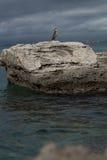 Phalacrocorax aristotelis på en vagga på kust Royaltyfri Foto