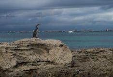Phalacrocorax aristotelis på en vagga på kusten Royaltyfri Foto