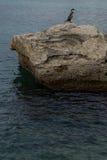 Phalacrocorax aristotelis på en vagga på kusten Royaltyfria Foton