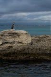 Phalacrocorax aristotelis på en vagga på kusten Arkivfoto