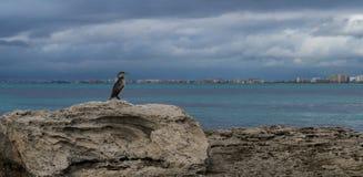 Phalacrocorax aristotelis på en vagga på kusten Royaltyfri Bild