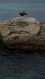Phalacrocorax aristotelis som fördelar dess vingar Arkivfoto