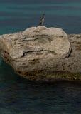 Phalacrocorax Aristotelis sur une roche sur la côte Photo stock