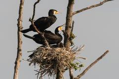 phalacrocorax auritus crested cormorant двойной стоковое фото