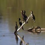 phalacrocorax auritus crested cormorant двойной Стоковые Фотографии RF