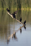 phalacrocorax auritus crested cormorant двойной Стоковые Фото