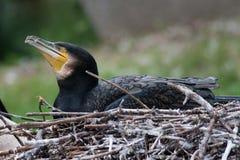 phalacrocorax auritus crested cormorant двойной стоковое изображение
