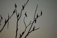 Phalacrocorax auritus royalty free stock photo