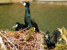Phalacrocorax carbo, cormorant. 3 cormorants in their nest, latin name Phalacrocorax carbo Stock Images
