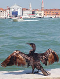 Phalacrocorax carbo, the great cormorant, in Venice Royalty Free Stock Photos