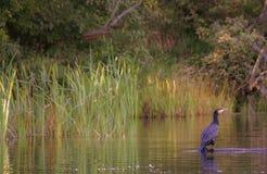 Phalacrocorax carbo great cormorants Royalty Free Stock Photos