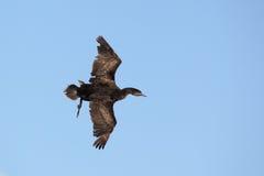 phalacrocorax cormorant capensis плащи-накидк Стоковое фото RF