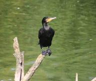 phalacrocorax cormorant carbo большой Стоковые Фотографии RF